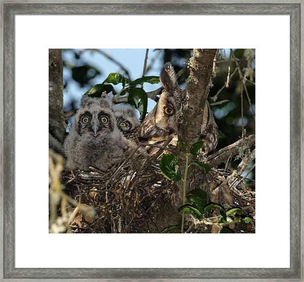 Long-eared Owl And Owlets Framed Print