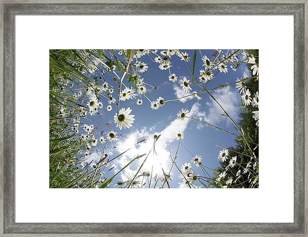 Looking Up Through Daisies To A Blue Sky Framed Print