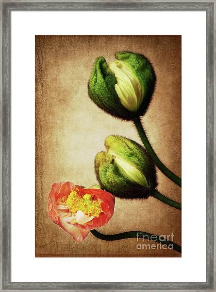 Love Poppies Framed Print