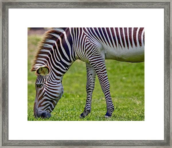 Love Zebras Framed Print