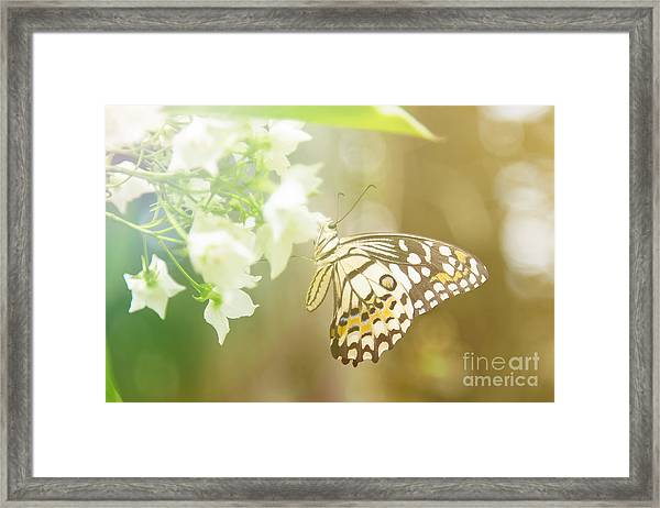 Lovely Butterfly On White Flowers With Framed Print