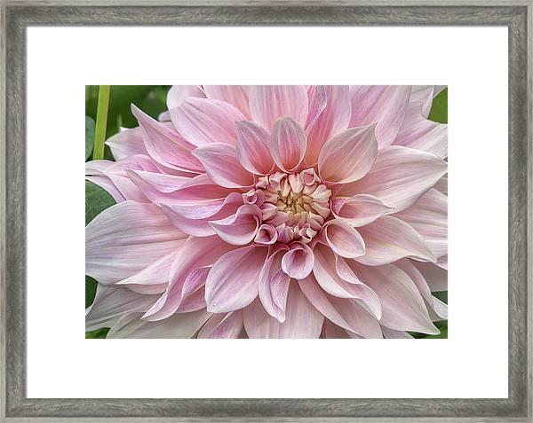 Lovely Dahlia Framed Print