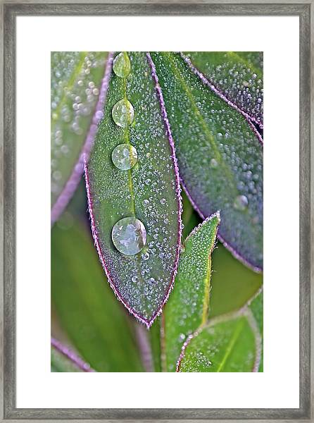 Lupin Leaves And Waterdrops Framed Print