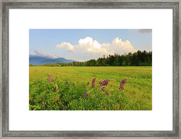 Lupine Lupinus In The White Mountains Framed Print