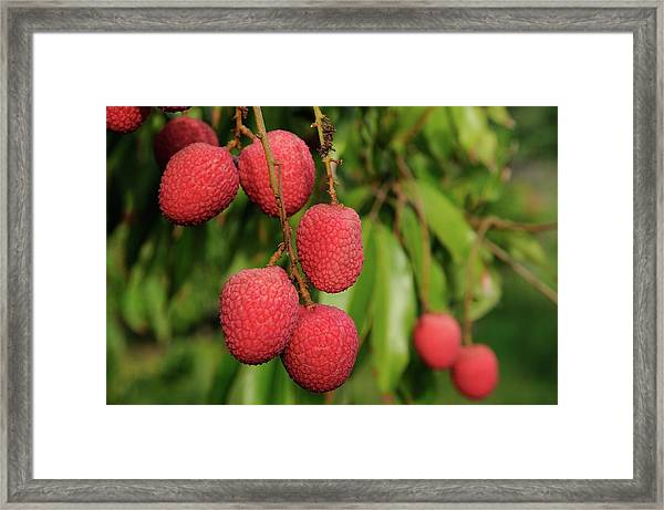 Lychee Fruit On Tree Framed Print