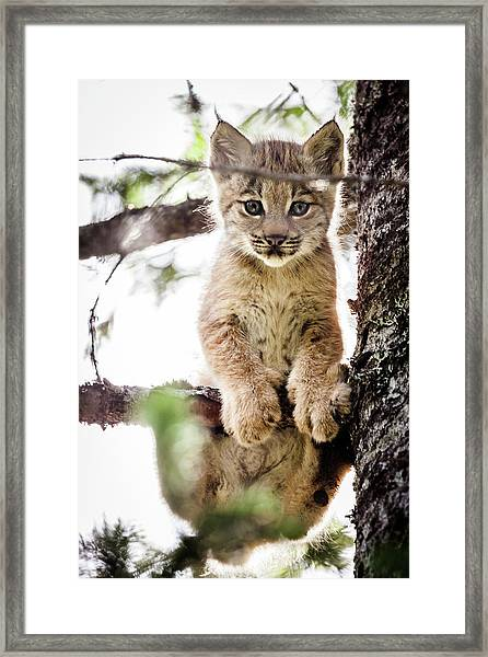 Lynx Kitten In Tree Framed Print