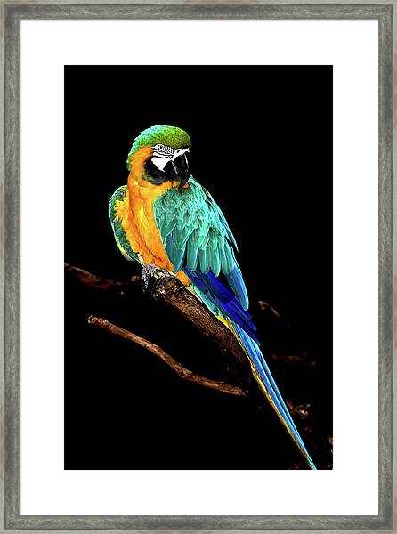 Macaw Framed Print by David Keith Jr. (all Rights Reserved)
