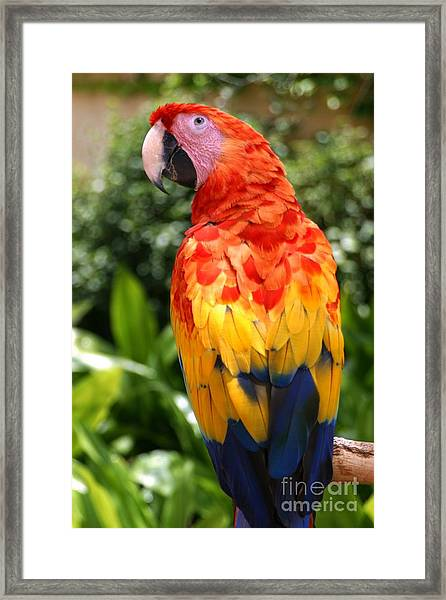 Macaw Sitting On A Branch Framed Print by Paul Banton