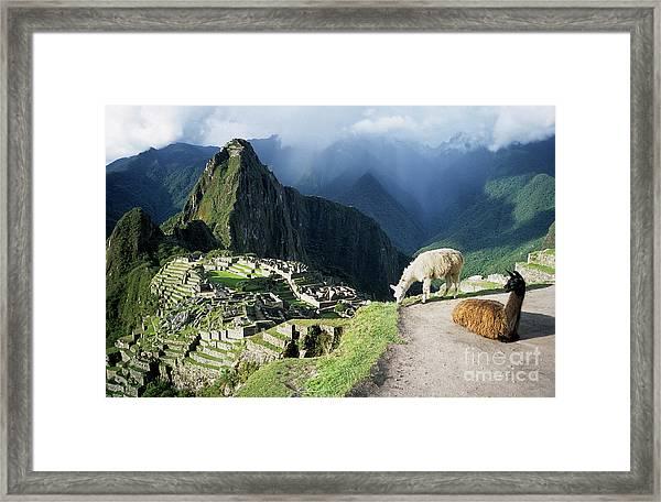 Machu Picchu And Llamas Framed Print
