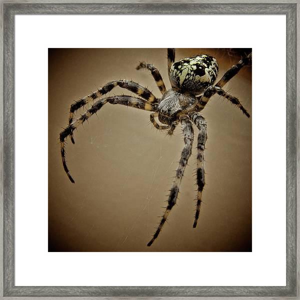 Macro Of Cross Orb Weaver Spider Framed Print