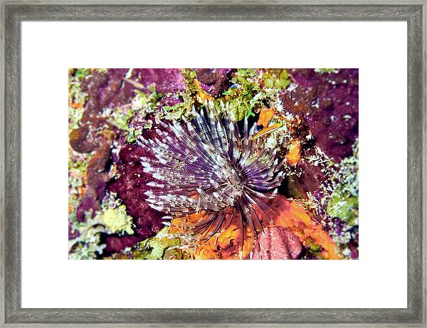 Magnificent Feather Duster Framed Print