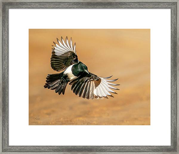 Magpie Beauty Framed Print