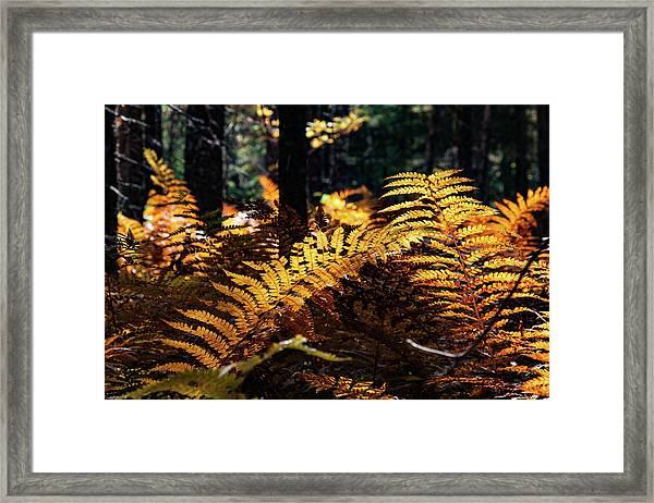 Maine Autumn Ferns Framed Print