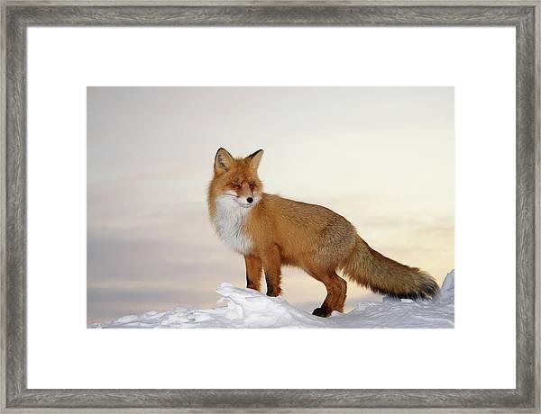 Majestic Fox Framed Print