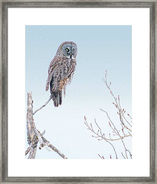 Majestic Great Gray Owl Framed Print