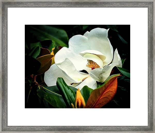 Majestic Magnolia Flower Framed Print