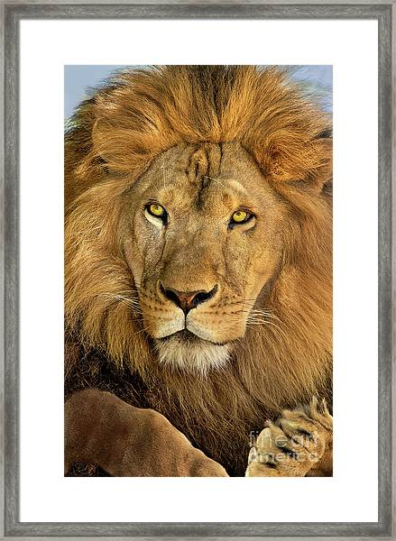 Male African Lion Portrait Wildlife Rescue Framed Print