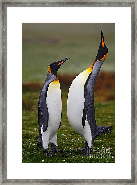 Male And Female Of King Penguin, Couple Framed Print