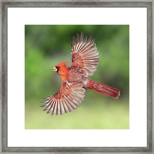 Male Cardinal In Flight Framed Print