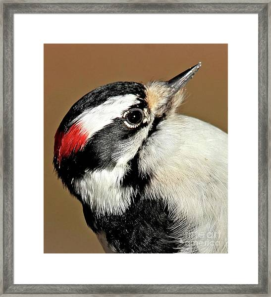 Male Downy Woodpecker Framed Print