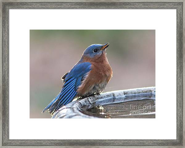 Male Eastern Blue Bird Framed Print