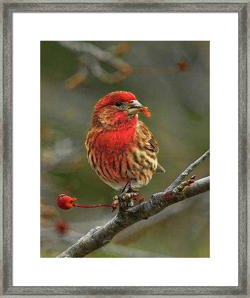Male House Finch With Crabapple Framed Print