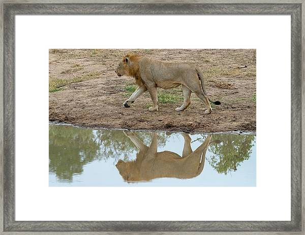 Male Lion And His Reflection Framed Print