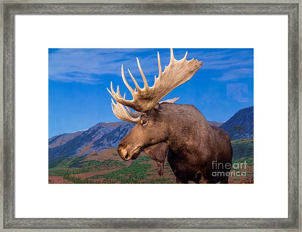 Male Moose Against Backdrop Of Mountains Framed Print