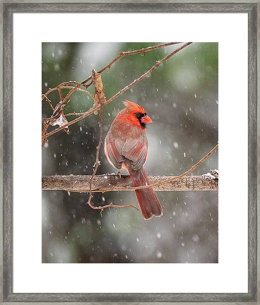 Male Red Cardinal Snowstorm Framed Print