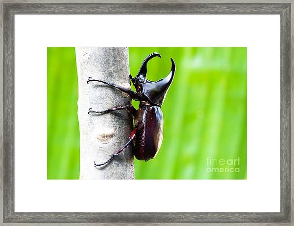 Male Rhinoceros Beetle, Rhino Beetle Framed Print