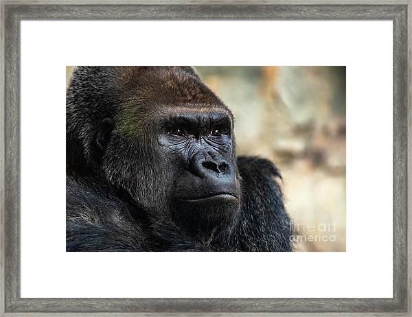 Male Western Gorilla Looking Around, Gorilla Gorilla Gorilla Framed Print
