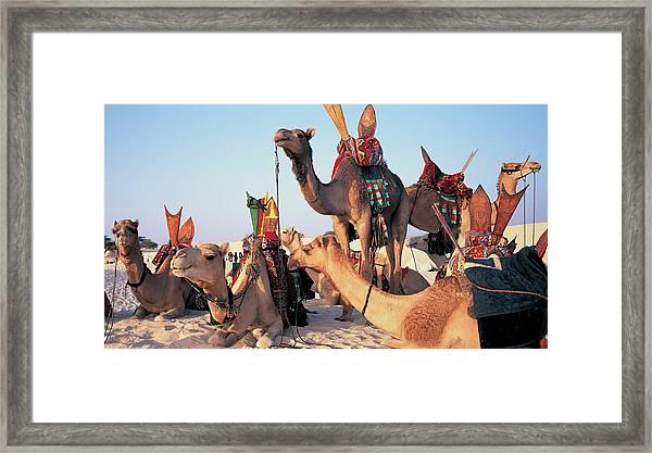 Mali, Timbuktu, Sahara Desert, Camels Framed Print by Peter Adams