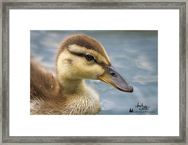 Mallard Duckling Framed Print