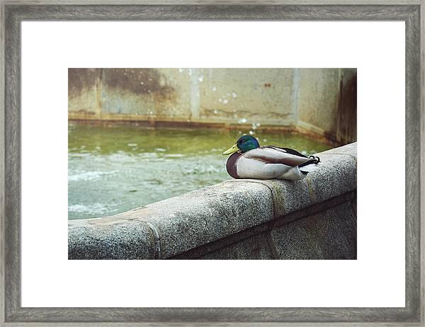 Mallard Resting On The Fountain Of The Fallen Angel In The Retiro Park - Madrid, Spain Framed Print