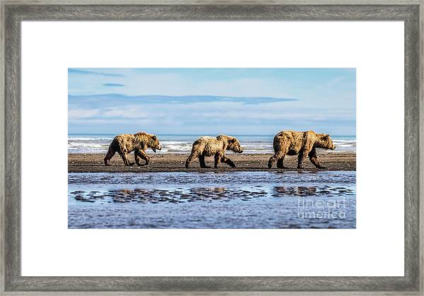 Mama Bear And Her Two Cubs On The Beach. Framed Print