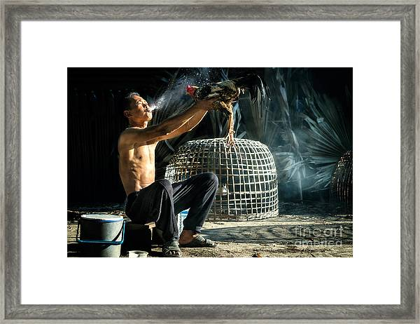 Man Cleaning Thai Gamecock Framed Print