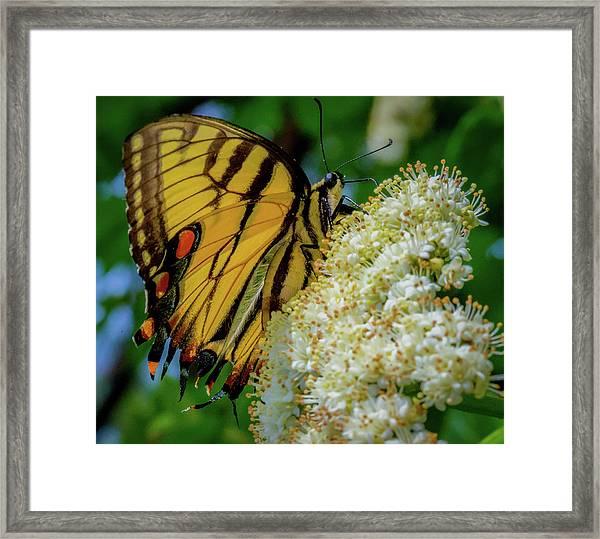 Manassas Butterfly Framed Print
