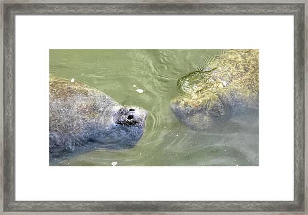 Manatee Love Framed Print