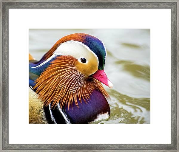 Mandarin Duck Portrait Framed Print
