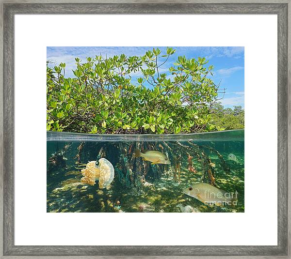 Mangrove Above And Below Water Surface Framed Print by Damsea