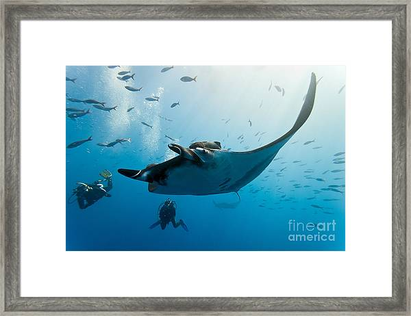Manta And Diver On The Blue Background Framed Print