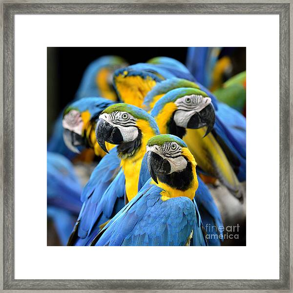 Many Of Blue And Gold Macaw Perching Framed Print by Super Prin