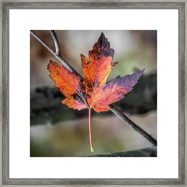 Maple 1 Framed Print