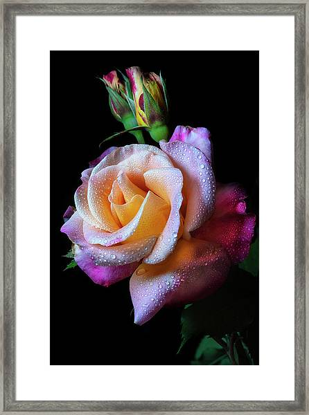 Mardi Gras Rose Portrait Framed Print