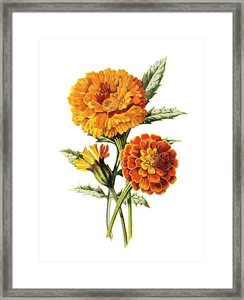 Marigold Flower Framed Print