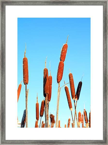 Marsh Bulrush On Celestial Background Framed Print