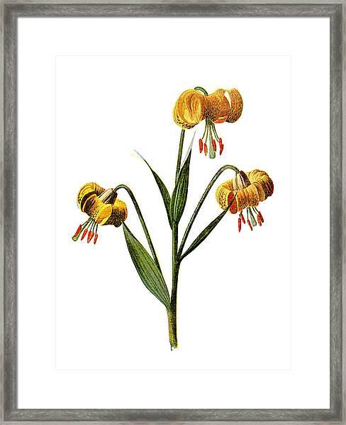 Martagon Lily Flower Framed Print