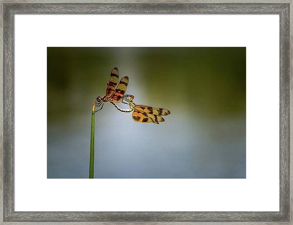 Mating Dragonflies Framed Print