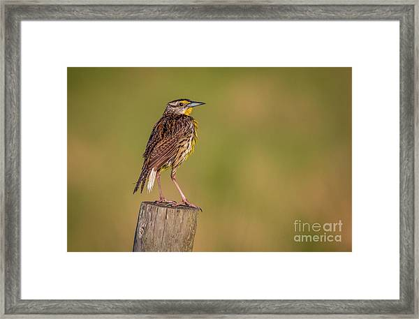 Framed Print featuring the photograph Meadowlark On Post by Tom Claud