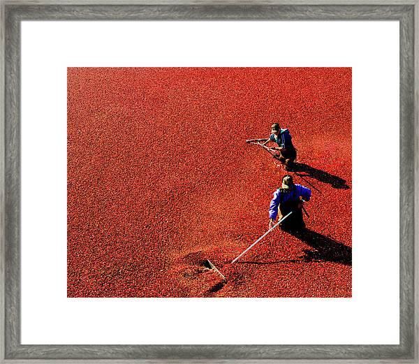 Men Harvesting Cranberry In Bog Framed Print